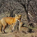 Red Fox and Kits-Explore by hawkwatcher08...Boston Strong!