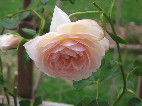 "David Austin English Rose ""Heritage."" by Leenechan"