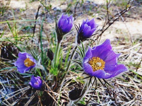 Pasqueflower patch in Crazy Canyon