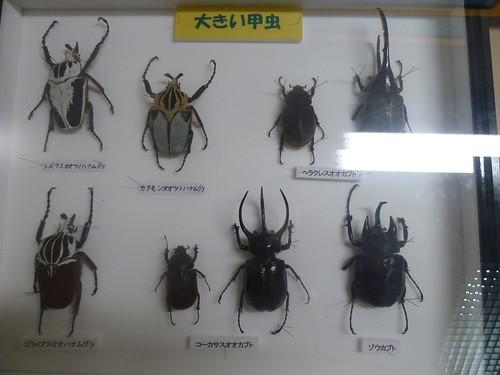大きい甲虫の標本
