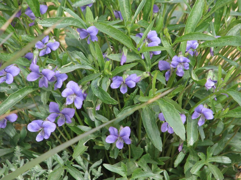Viola pinnata