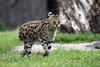 Cincinnati Zoo ... Serval Cat