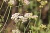 Thread-waisted wasp (Ammophila sp.). June 1, 2013, Bear Gulch Parking Area, Pinnacles NP, San Benito Co., CA (2) by rjadams55