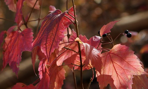 pentax k3 pentaxk3 smcpentaxda55300mmf458ed vbd ct connecticut fall fallcolor autumn newengland pink peach purple oldminepark trumbull leaves 2014 fall2014 bokeh berries lightandshadow leaf
