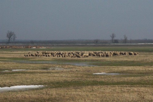 Sheep grazing in south-east Hungary