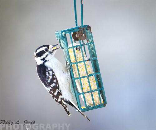 Downy Woodpecker by Ricky L. Jones Photography