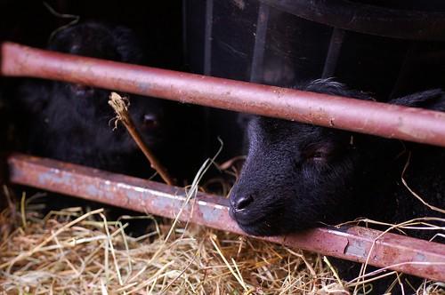 First Shetland Lambs