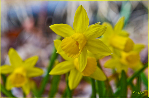The patch of miniature daffodils....