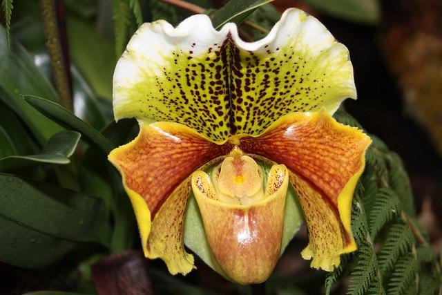 Orchid - Frauenschuh - Insel Mainau