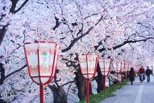 Hirosaki Japan Sakura Lanterns. © Glenn E Waters. Explored. Over 7,000 visits to this photo.