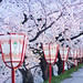 Hirosaki Japan Sakura Lanterns. © Glenn E Waters. Explored. Over 2,500 visits to this photo. by Glenn Waters ぐれんin Japan.