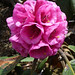 <i>Rhododendron hodgsonii</i> at Yotong La Pass (Alison Evans)