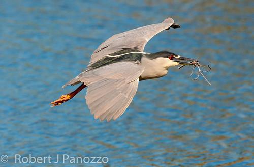 bird heron rookery blackcrownednightheron nightheron veniceareaaudubonsocietyrookery