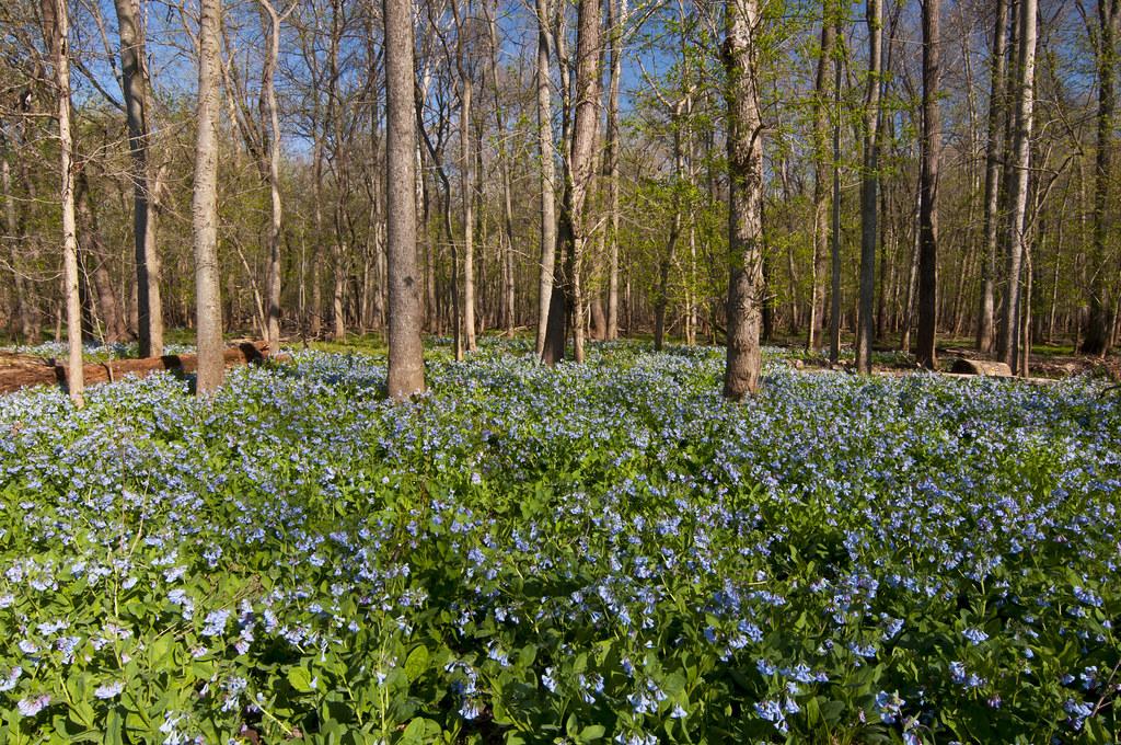 Virginia Bluebells, Bluebell Trail @Bull Run Park, Virginia