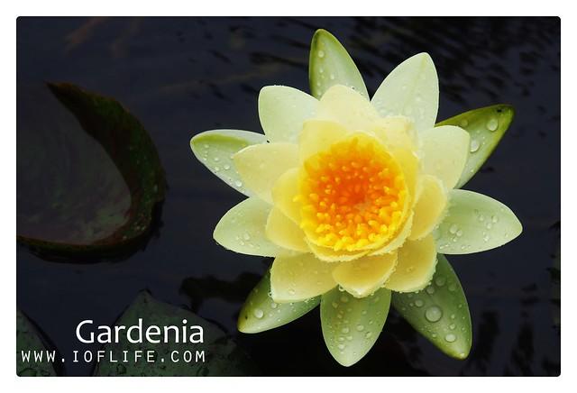lotus gardenia manado