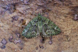 Red-green Carpet (Chloroclysta siterata)