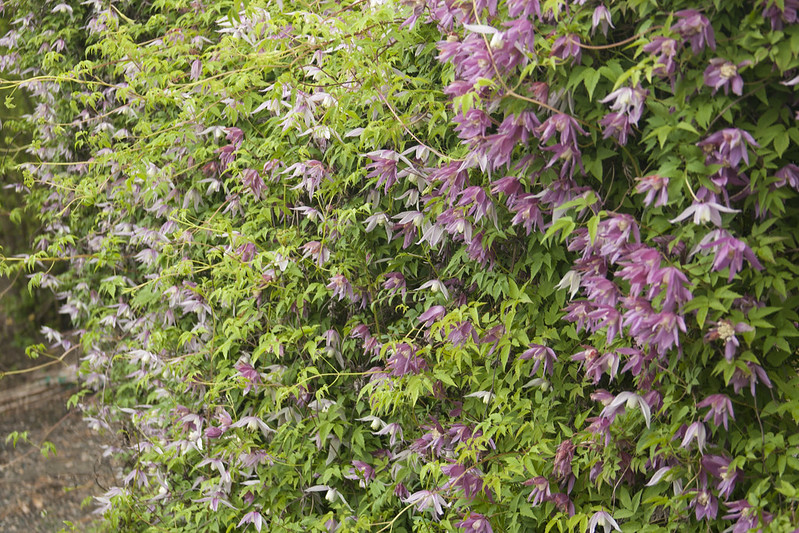 clematis fence