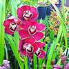 ... Cymbidium Red Skelton 'Raspberry Ruffle.' It's easy to see both parents, Cymbidium Sensation and Yowie Flame, in this pleasing red standard Cymbidium. A prolific variety with beautiful reddish purple flowers. The lip is white, heavily marked with burg