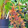 ... Cymbidium Mad Doctor, a cross between Cymbidium Madidum and Cymbidium Doctor Baker. Cascading sprays of amber brown flowers with some red to pink undertones, and red spotted lips. A very prolific bloomer producing up to 20+ flowers per spike and up to