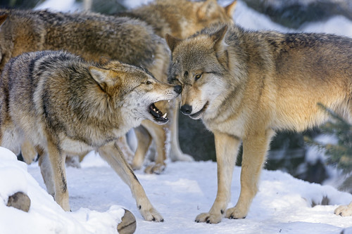 Interracting wolves by Tambako the Jaguar
