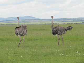 Ostriches on the run