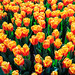 Oranje boven ! (For Queen's day in Holland) by Frans.Sellies (off for a while)