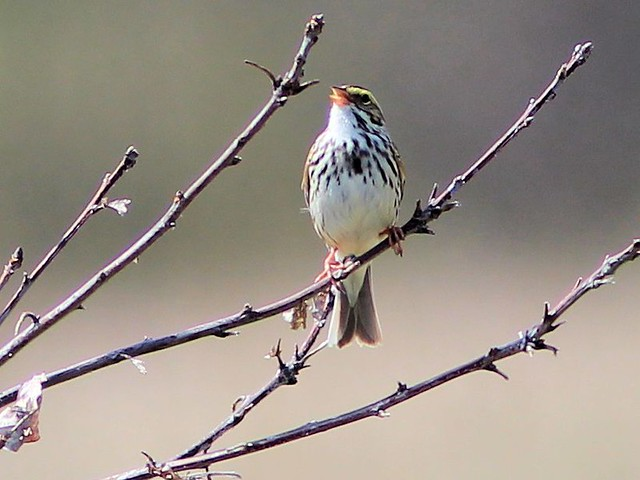 Savannah Sparrow singing 20130430