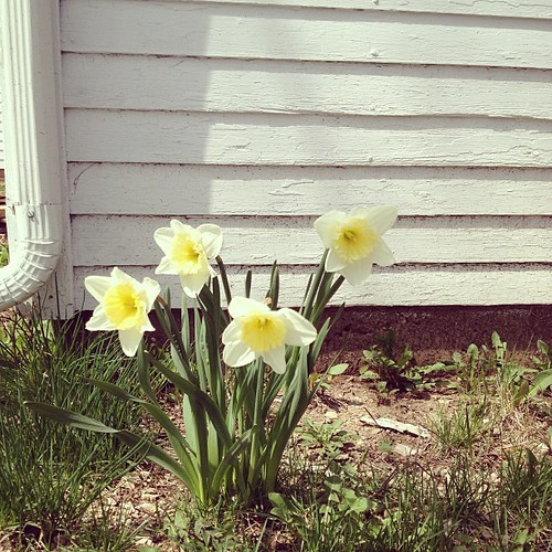 The only thing growing in our yard right now are these sunny gals behind the garage. Also, maybe rhubarb?