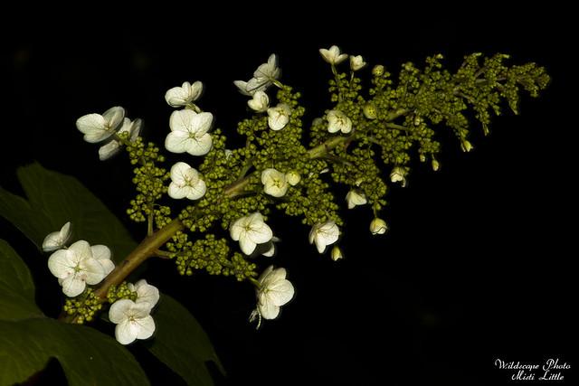 oakleafhydrangea3