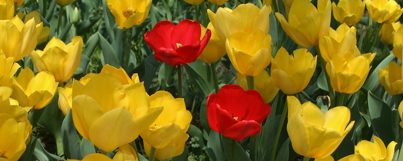 Montclair Tulips