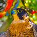 Peregrine Falcon Santa Barbara Museum of Natural History shot with SX 60 in  Art Vivid 138 by pekabo90401