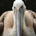 Pelican by michael_hamburg69