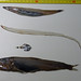 Deep sea fish. Paralepis - Hatchetfish - Anguiliform - Evermannella