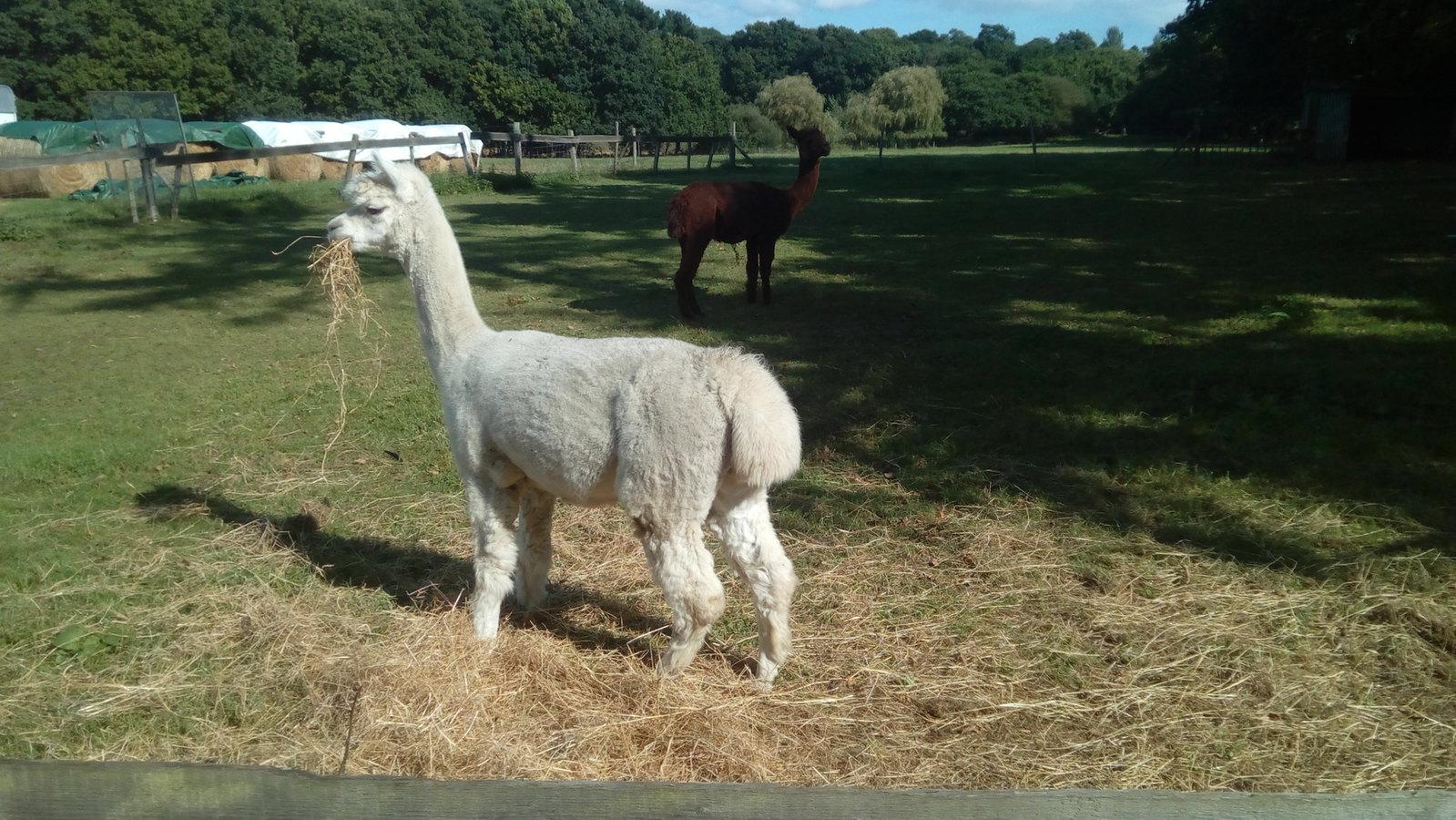 Llama you watching me?