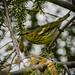 Cape May Warbler (Setophaga tigrina)
