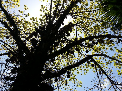 Cannonball Tree Silhouette by ** Gudenius **