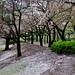 fallen blossoms #1