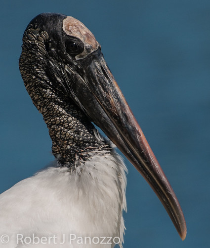 bird ngc stork woodstork goldwildlife naturesharmony