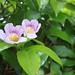 Garden Inventory: Clytostoma callistegioides - 02