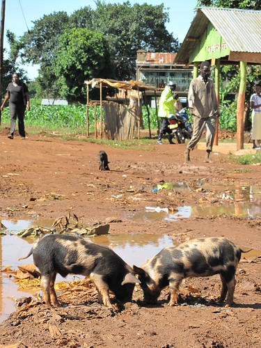 Scavenging pigs in Busia, western Kenay