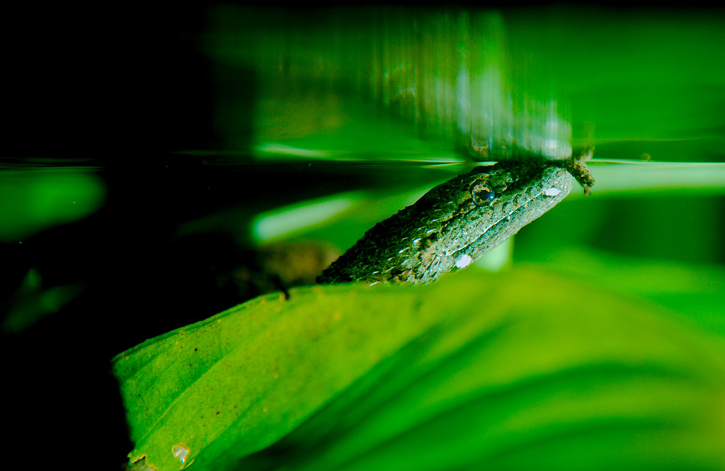 Tentacled Snake (Erpeton tentaculatum)_4