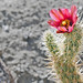 Small photo of Spring in Anza Borrego