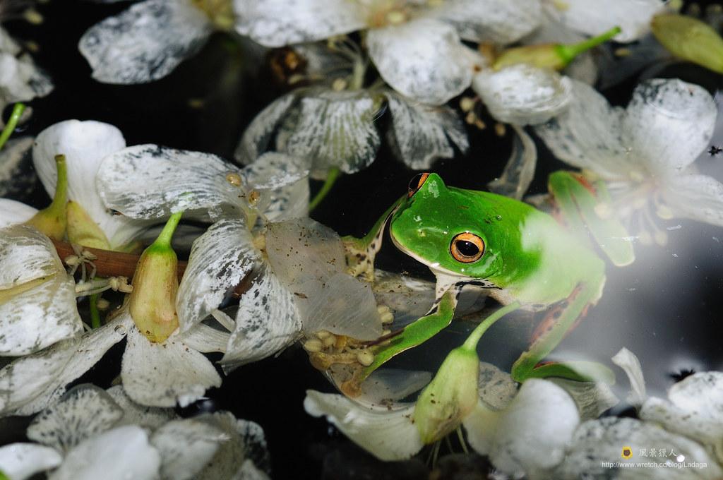 花落蛙現蹤