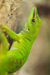 Climbing Madagascar day gecko