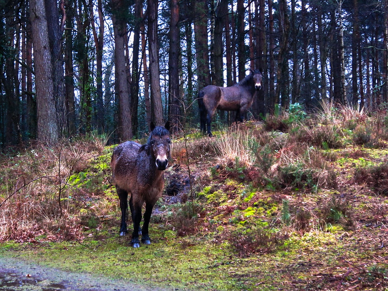 The Exmoor Ponies were pretty wet
