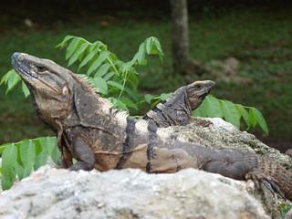 Las iguanas siempre presentes en las ruinas mayas