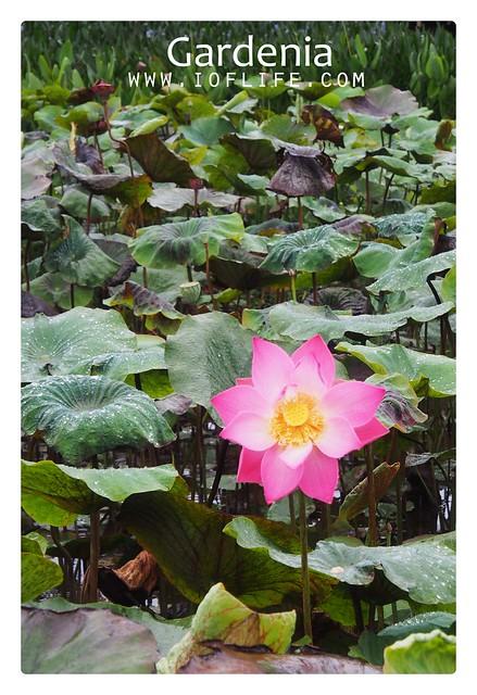 teratai gardenia manado