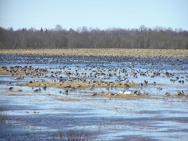 Migrating waterfowl