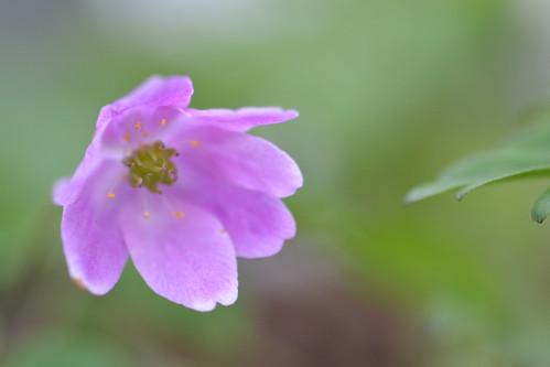 ANEMONE nemorosa 'Westwell Pink'