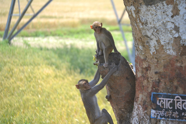 A picture of Monkeys in a tree